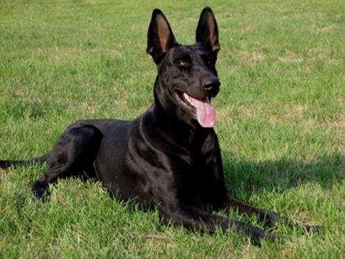 大型黑狼犬 个人犬舍便宜出售黑狼犬健康纯正 全国包邮