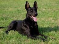 中华黑狼犬 哪里有卖黑狼犬的 纯种黑狼 健康纯正