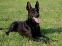 墨界黑狼犬 大骨架品相好 纯种血统 价格优惠 送狗狗用品