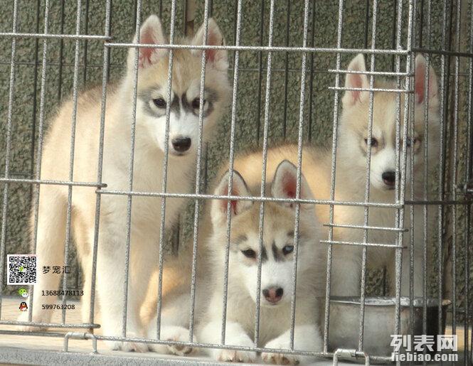 黄金血统的纯种的三火蓝眼哈士奇幼犬火热出售