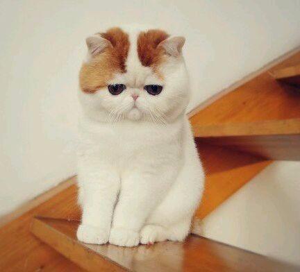 拉萨哪里有加菲猫卖 自家繁殖 品相极佳 多只可挑