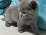 上海閘北純血藍貓優惠出售