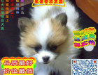 扬州哪里可以买到蝴蝶犬 蝴蝶犬多少钱一只