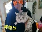南京本市 自家猫生美短2个月小猫 诚意找新家