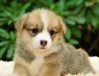出售柯基犬幼犬威尔士柯基犬价格三个月包退换终身包纯