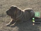 哪里有专门养沙皮犬的 纯种的多少钱一只