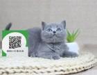 深圳哪里开猫舍卖蓝猫 去哪里可以买得到纯种蓝猫