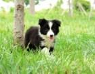 双血统边牧 专业繁殖 可上门挑选 协议质保