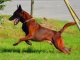高品质血统红马爆红马犬工作犬