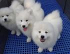 微笑天使萨摩耶幼犬澳版纯白雪橇犬纯种 诚信商家