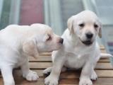 拉布拉多幼犬 保证纯种健康 签订活体协议 包退换
