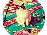 哈尔滨正规布偶猫舍