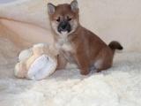 犬舍直销柴犬幼犬 纯种健康能养活 支持视屏对接