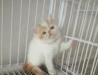 cfa纯种血统加菲猫公猫