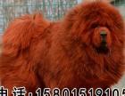 獒园出售纯种藏獒幼犬铁包金可签协议毛量大纯种狮头藏獒