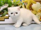 出售波斯猫 专业繁殖 实物拍摄 正规猫舍