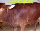 种驴 肉驴仔 黑驴崽 毛驴驹 德州驴苗 乌驴 肉牛犊 黄牛苗