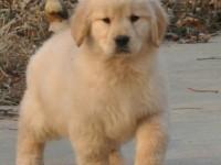 淘宠一号名犬基地出售纯血统金毛幼犬 纯种健康质保