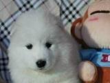哈尔滨市出售纯种萨摩耶幼犬