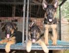 纯种德牧犬 血统纯种品质保证包健康纯种上门挑选