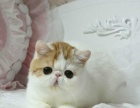 Wcf赛级、超可爱加菲猫幼猫出售签署协议可见父母