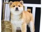 邯郸哪里有卖柴犬的 柴犬幼犬卖多少钱一只 本地哪里有犬舍