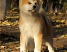 CKU注册犬舍繁育日本秋田健康合同血统保障