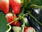 非常非常好吃的草莓 小时候的味道 摘草莓 草莓采摘
