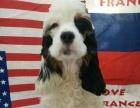 忍痛出售5个月大的美卡犬