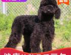 本地出售纯种巨贵幼犬,十年信誉有保障