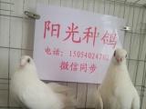 大同观赏鸽出售,黑跟头,红跟头,黄秀,黑细花淑女鸽,高飞鸽等