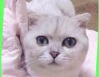 纯种折耳猫不收钱给喜欢猫猫的人