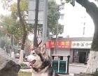 出售阿拉斯加雪橇犬短毛