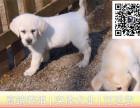 精品拉布拉多拉布拉多犬幼犬专业犬舍繁殖来场看狗父母