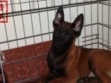 常年出售马犬,格力,杜高,杜宾,比特犬,价格优惠