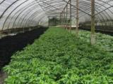 成都绿化苗木、绿化修剪养护、红叶石楠万年青木春菊