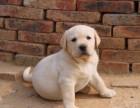 专业繁殖赛级双血统拉布拉多犬 纯种大头大骨架