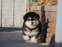 纯种帅气阿拉斯加雪橇犬 包纯种健康活泼可爱阿拉斯加