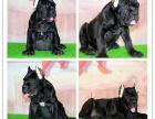 CKU犬舍狗场繁殖幼犬裁耳血统卡斯罗带出生纸保健康