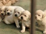 纯种拉布拉多,优选培育强健幼犬,确保健康