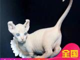 里有无毛猫卖国外引进血统无毛猫健康三包
