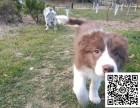 边境牧羊犬纯正健康出售-幼犬出售,当地可以上门挑选