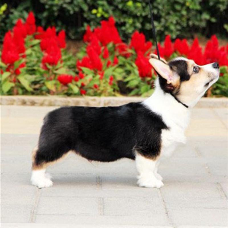 上海狗舍繁殖柯基幼犬 威尔士柯基犬 三色,黄白色都有 品相好