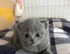 自家出生的蓝猫妹妹寻找爱心主人