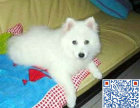 银狐哪里有卖的 一只银狐犬多少钱