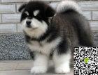 出售纯种阿拉斯加幼犬 哪里卖健康阿拉斯加多少钱 阿拉价格