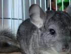 77松鼠淘宝店出售魔王金花雪地幼鼠龙猫安格鲁貂等宠物支持淘宝
