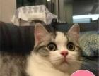 短毛猫英短纯种猫幼猫疫苗驱虫已打江浙沪可上门