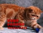 佛山哪里有卖纯种加菲猫多少钱一只已做疫苗签订协议保证健康
