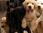 云南昆明买拉布拉多昆明哪里买的狗较健康